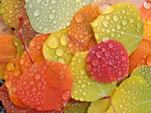 Colorful Aspen Leaves With Rai...