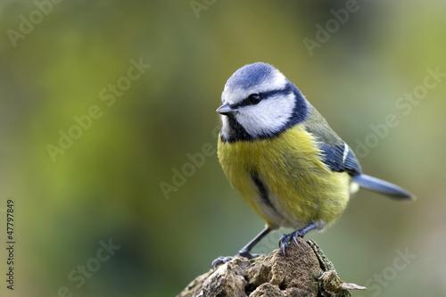 Foto blue tit
