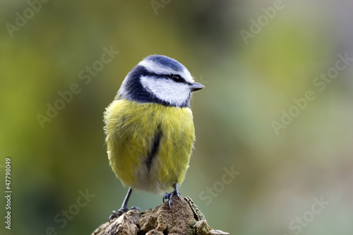 Papiers peints Nature blue tit