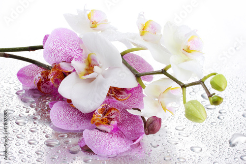 Fototapeta pink and white beautiful orchids with drops obraz