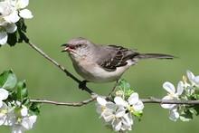 Northern Mockingbird (Mimus Po...
