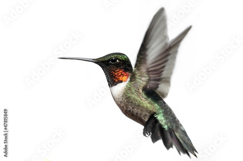 Ingelijste posters Vogel Isolated Ruby-throated Hummingbird