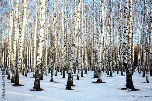 Spoed Foto op Canvas Berkbosje Ray of sunshine in winter birch grove