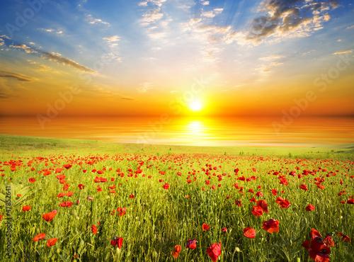 Obraz Maki na tle zachodu słońca - fototapety do salonu
