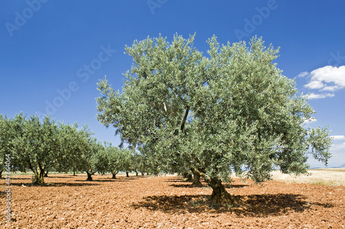 Tuinposter Olijfboom Olive tree in Provence. France