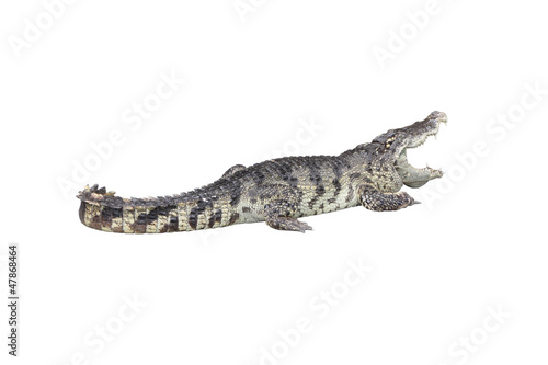 Foto op Canvas Krokodil Crocodile open mouth stay rest on white background.