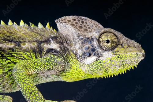 Staande foto Kameleon Warty Chameleon / Furcifer verrucosus