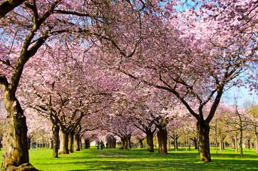 Obraz na Szkle Blüten-Traum: Japanische Yoshino Kirsche