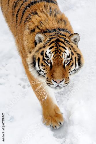 piekny-dziki-tygrys-syberyjski-na-sniegu