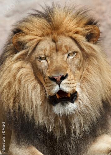 Foto op Plexiglas Leeuw Lion