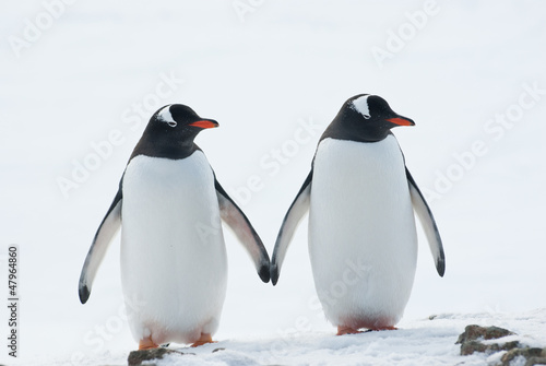 La pose en embrasure Pingouin Two penguins Gentoo.