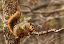Eastern Fox Squirrel, Sciurus ...