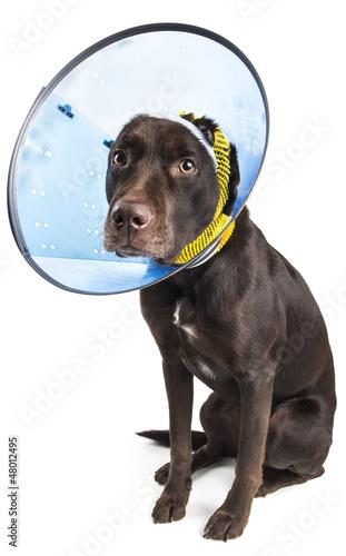 Valokuva  Dog with cone and bandage