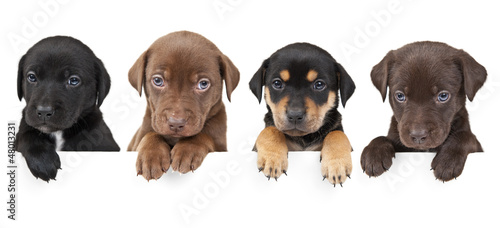 Fotografie, Tablou  Four puppies above banner