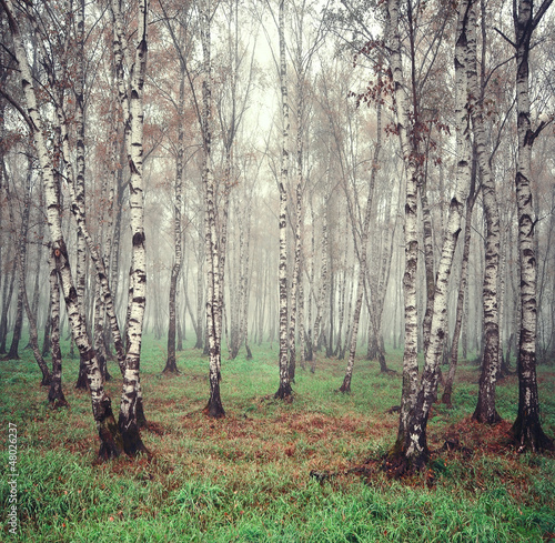 Foto op Canvas Berkbosje Birch trees in the fog
