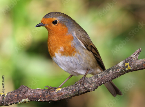 Photo  Close up of a Robin perched on a branch
