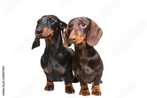 Keuken foto achterwand Crazy dog black and chocolate dachshund dogs on isolated white