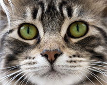Head Of Cat