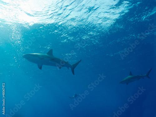 Foto op Plexiglas Dolfijnen Caribbean reef sharks (Carcharhinus perezi)