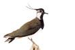 Leinwandbild Motiv Kiebitz (Vanellus vanellus) freigestellt