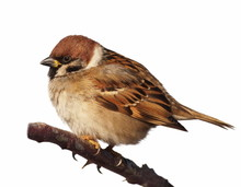 Tree Sparrow Isolated On White...
