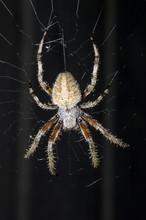 Barn Spider, Araneus Cavaticus, Dorsal View, On Web