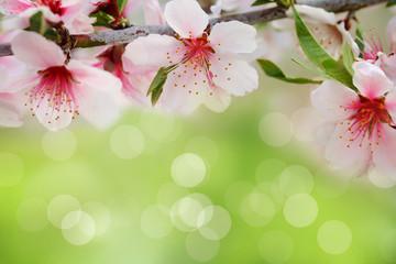 Fototapeta Ogrody Apricot blossom