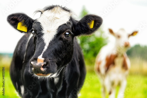 Photo Stands Cow Young curious calfs on background of green grass