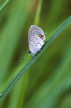 Gray Hairstreak Butterfly On Grass Stem With Dew