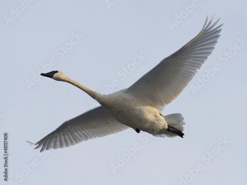 Foto op Canvas Zwaan Trumpeter Swan