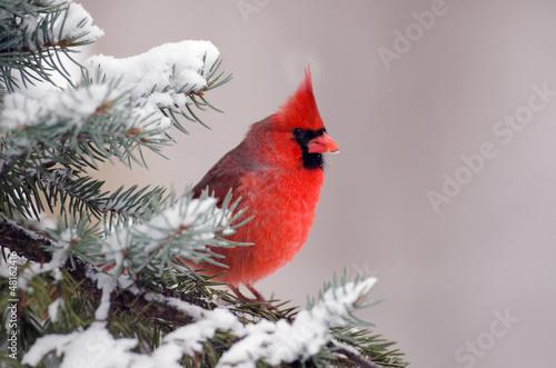 Carta da parati Northern cardinal perched in a tree