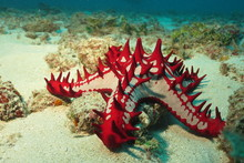 African Sea Star