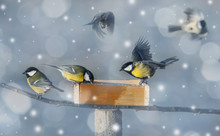 Titmouse Birds Eating Seed From Bird Feeder In Winter
