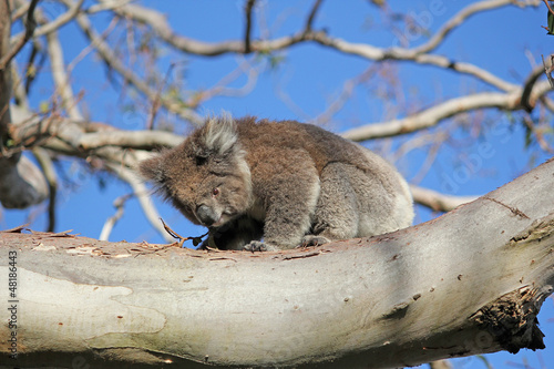 Garden Poster Koala Koala 13 Australia Settembre 2012