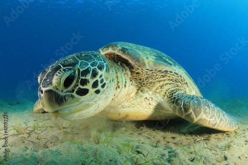Canvas Prints Under water Green Turtle
