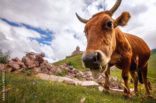 krowa-w-poblizu-kazbegi