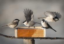 Chickadee Birds