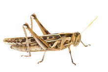 Isolated Of Big Grasshopper