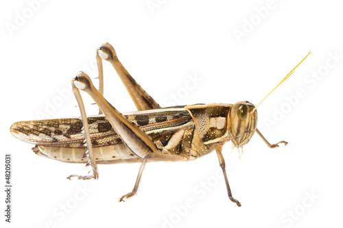 Fotografie, Obraz Isolated of big Grasshopper