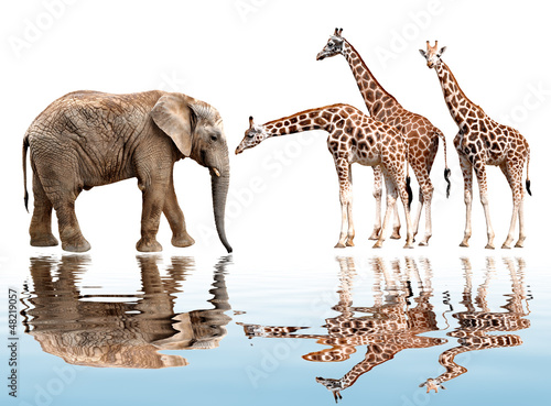 giraffes with elephant isolated on white Poster