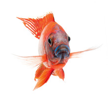 Red Cichlid Fish, Ruby Red Peacock Fish