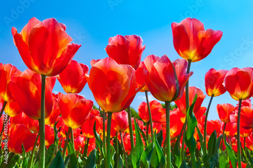 Keuken foto achterwand Rood traf. Red tulips on a blue background.