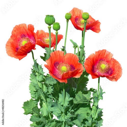 Obraz The papaver somniferum - fototapety do salonu