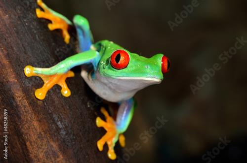 red-eye frog  Agalychnis callidryas in terrarium Poster Mural XXL
