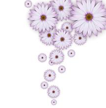 Field Of Purple Daisy Flowers.