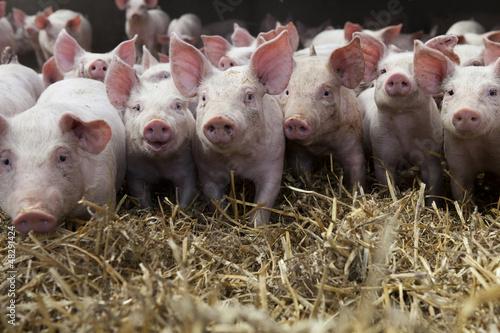 Piglets Fototapeta