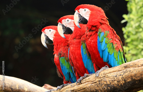 Photo Three macaw on tree