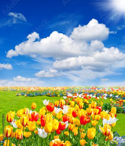 Foto-Duschvorhang - tulip flowers field. spring landscape