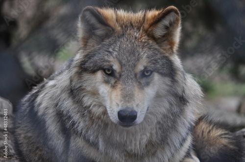 Papiers peints Loup Loup de Sibèrie