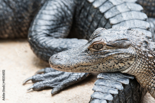 Foto op Plexiglas Krokodil Detail of group of Alligators